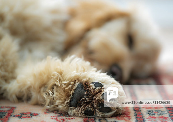 'Close up of the paw of a blond cockapoo; South Shields  Tyne and Wear  England' 'Close up of the paw of a blond cockapoo; South Shields, Tyne and Wear, England'