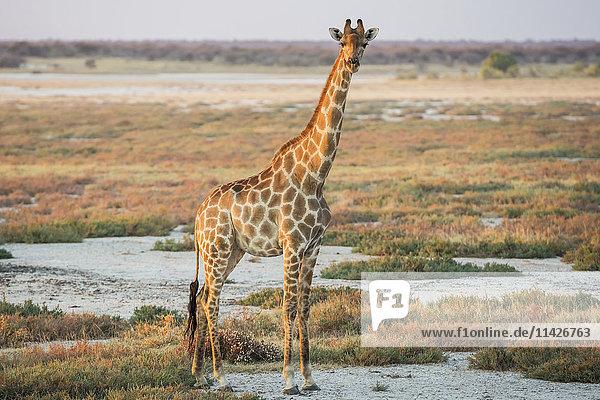 'A Namibian giraffe (Giraffa giraffa angolensis) is dominating above savanna and looking at photographer  Etosha National Park; Namibia'
