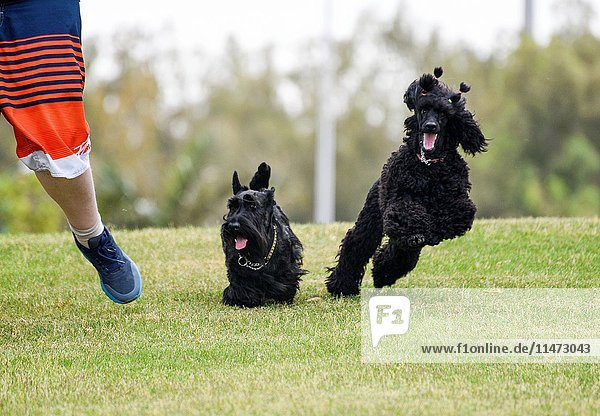 A boy (left) runs in a park with a Scottish Terrier (centre) and a black miniature poodle (right).