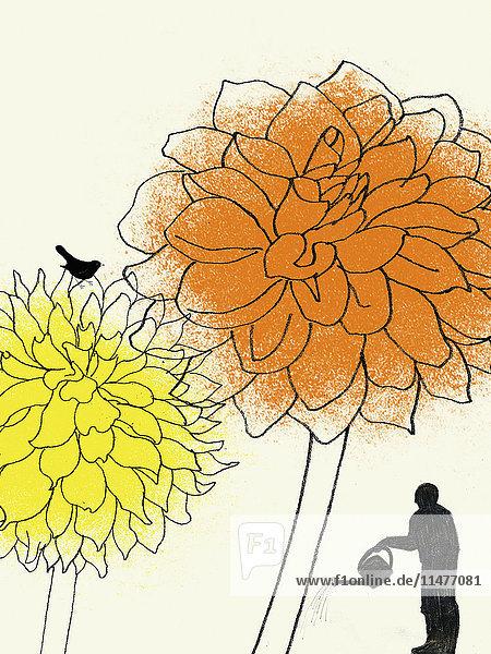 Gärtner gießt große Dahlien