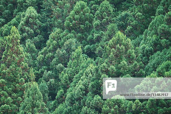 Japanese Cedar trees in Okutama  Tokyo  Japan