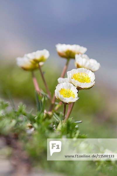 Lombardy  Italy. Glacier buttercup.