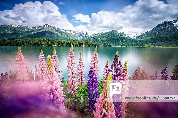 Lupins in bloom on the shores of the Lake of Sils shaken by a strong wind.
