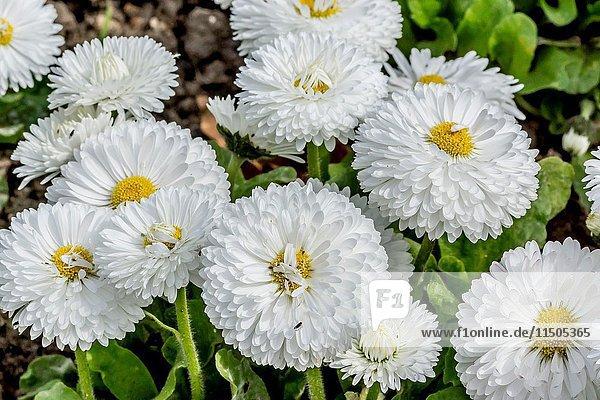 Roggli White English Daisy /Bellis perennis 'Roggli White'.