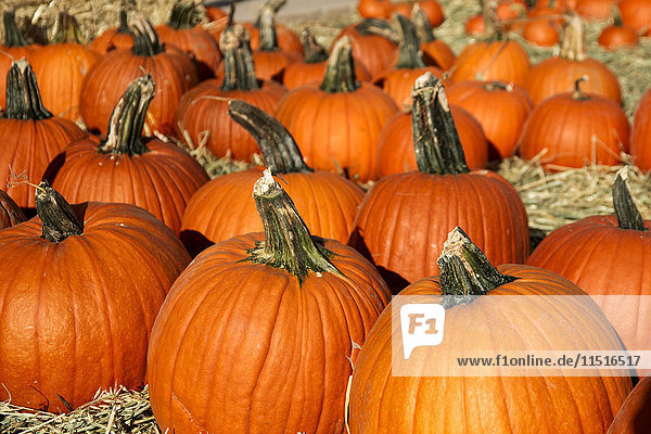 Large group of pumpkins