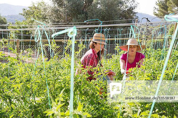 Zwei junge Gärtnerinnen kümmern sich um Tomatenpflanzen auf Biobauernhof