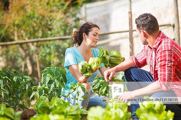 Bauernpaar pflückt Salat auf Biobauernhof