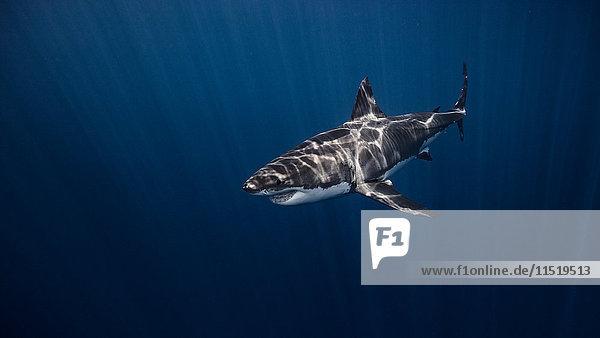 Weisser Hai  Unterwasser-Ansicht