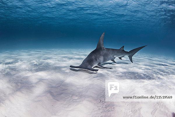 Great Hammerhead shark  underwater view