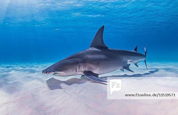 Grosser Hammerhai  Unterwasser-Ansicht