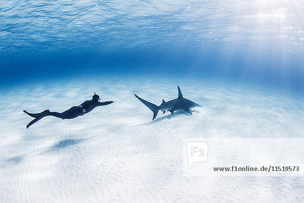 Diver swimming with Great Hammerhead shark  underwater view
