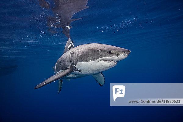 Grosser Weisser Hai  Unterwassersicht  Insel Guadalupe  Mexiko