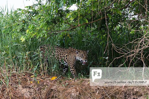 Jaguar (Panthera onca) prowling in wetland  Pantanal  Mato Grosso  Brazil