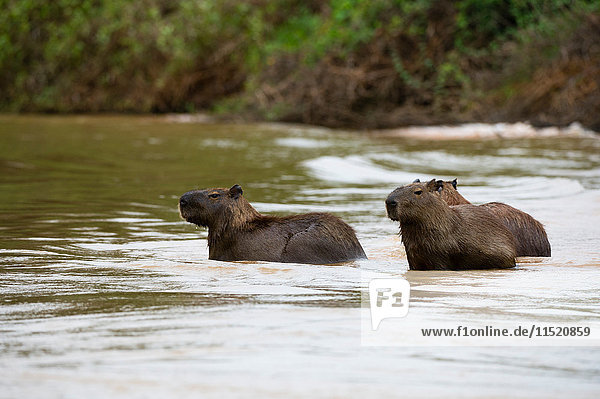 Three capybara (Hydrochaeris hydrochaeris) wading in river  Pantanal  Mato Grosso  Brazil