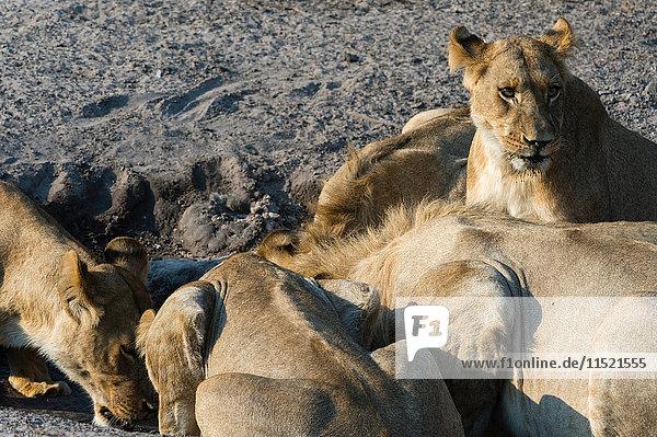 Lions (Panthera leo) drinking at mud watering hole  Savuti marsh  Chobe National Park  Botswana