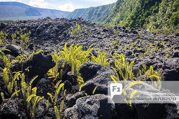 Vulkanische Landschaft mit schwarzen Felsen und Farnen  Insel Réunion