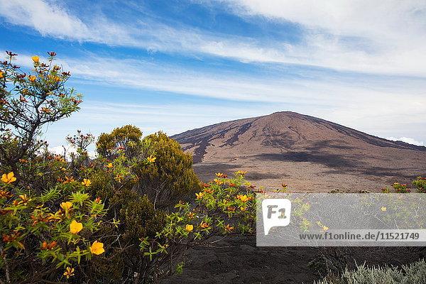 Vulkanlandschaft mit gelben Strauchblüten und Piton de la Fournaise  Insel Réunion