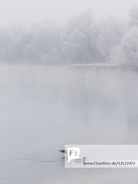 Two ducks on a lake in winter