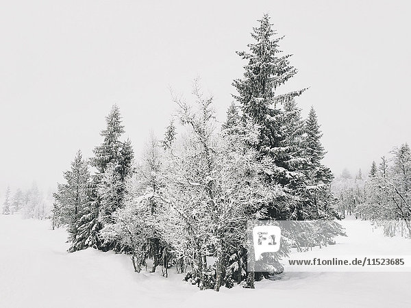 Norway  Oppland  trees in pristine winter landscape