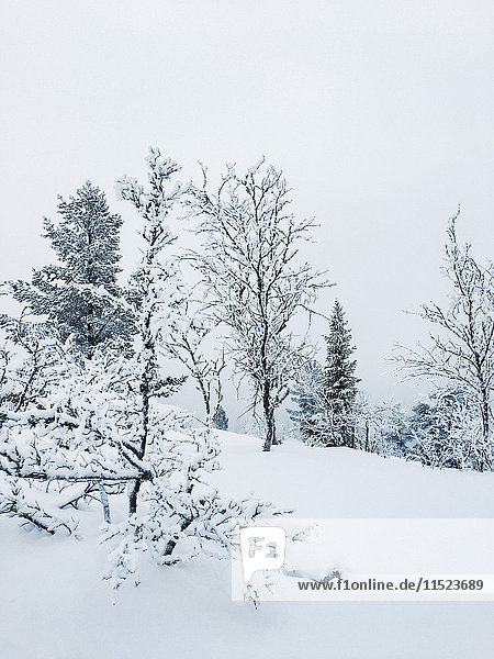 Norway  Oppland  trees in snow-covered winter landscape