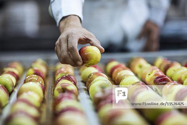 Arbeiter nimmt Apfel vom Förderband in der Fabrik ab Arbeiter nimmt Apfel vom Förderband in der Fabrik ab