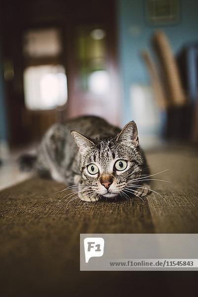 Porträt einer Katze  die zu Hause auf dem Teppich hockt.