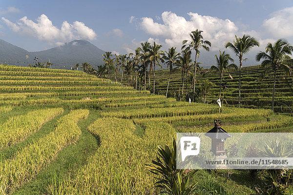 Bali  Jatiluwih  Reisterrassen