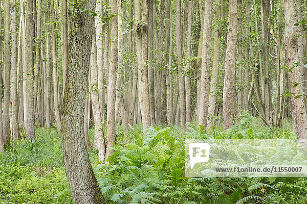 Germany  Western Pomerania Lagoon Area National Park  Darsser Wald  Forest  Black alders  Alnus glutinosa  and ferns  fen wood