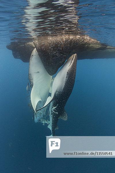 Indonesien  Papua  Cenderawasih Bucht  Walhaie