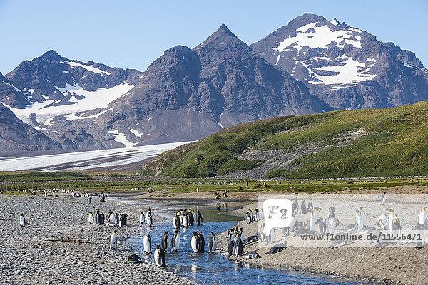 King penguins (Aptenodytes patagonicus) in beautiful scenery  Salisbury Plain  South Georgia  Antarctica