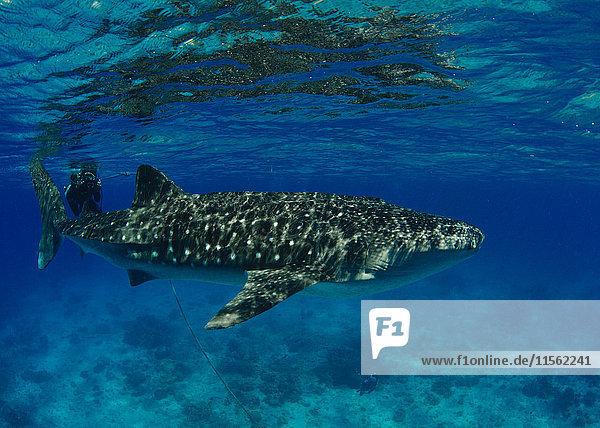Philippinen  Donsol  Walhai