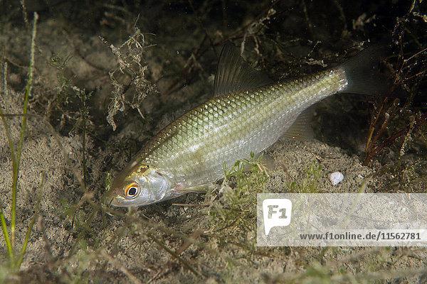 Döbel  Squalius cephalus im Süßwassersee