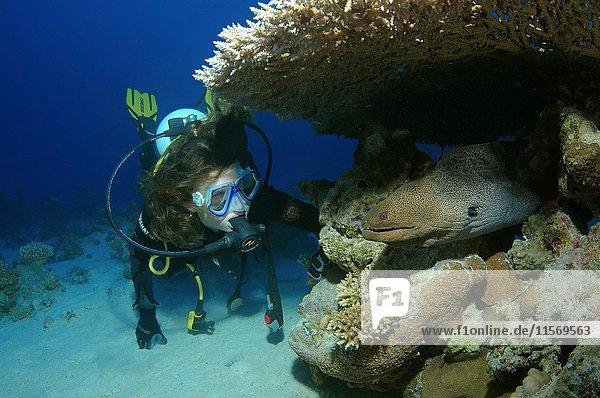 Taucher betrachtet Riesenmuräne (Gymnothorax javanicus)  Rotes Meer  Ägypten  Afrika