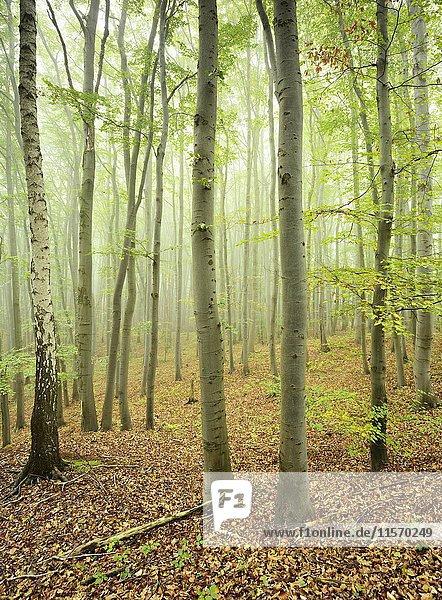 Buchenwald im Nebel,  Karstbuchenwald,  Naturschutzgebiet Gipskarstlandschaft Questenberg,  Biosphärenreservat Karstlandschaft Südharz,  Sachsen-Anhalt,  Deutschland,  Europa