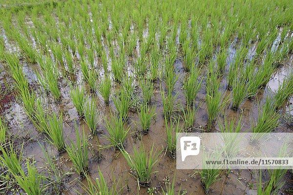 Rice paddy  Bevato  Tsiroanomandidy district  Bongolava region  Madagascar  Africa