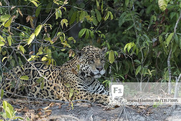 Männlicher Jaguar (Panthera leo) liegt an Flussufer  Rio Cuiaba  Pantanal  Mato Grosso  Brasilien  Südamerika