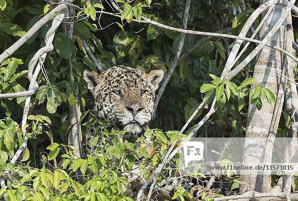 Männlicher Jaguar (Panthera leo) versteckt an Flussufer,  Rio Cuiaba,  Pantanal,  Mato Grosso,  Brasilien,  Südamerika