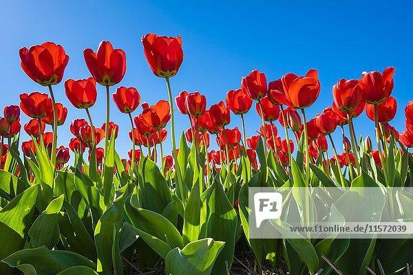 Rote holländischen Tulpen in voller Blüte vor blauem Himmel  Nordwijkerhout  Provinz Nordholland  Niederlande  Europa