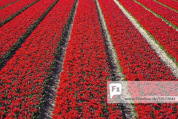 Feld mit leuchtend roten Tulpen (Tulipa) im Frühjahr  Burgerbrug  Provinz Nordholland  Niederlande  Europa