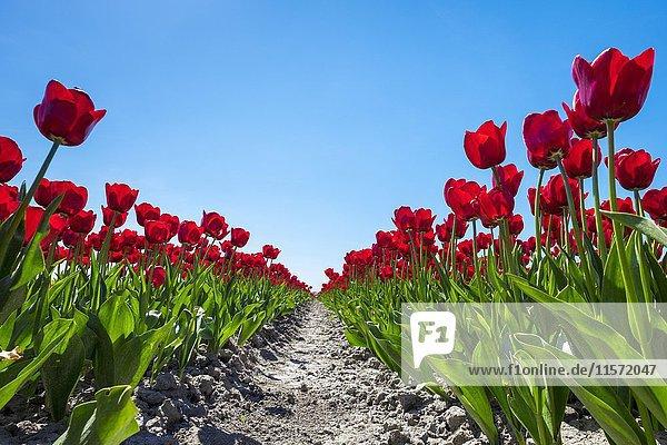Kräftig rote holländischen Tulpen (Tulipa) vor blauem Himmel  Schermerhorn  Provinz Nordholland  Niederlande  Europa