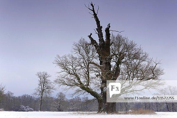 Old oak tree in winter  Middle Elbe Biosphere Reserve  Saxony-Anhalt  Germany  Europe