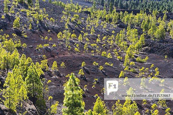 Kanarische Kiefern (Pinus canariensis)  Wanderweg im Lavagebiet von Montaña Negra  bei El Tanque  Teneriffa  Kanarische Inseln  Spanien  Europa