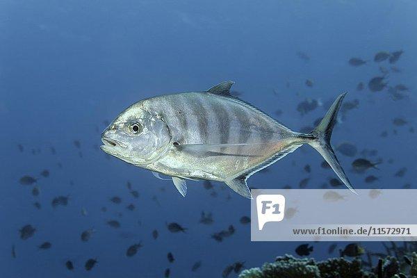 Querstreifen-Makrele (Carangoides ferdau)  Fischschwarm  Indischer Ozean  Malediven  Asien