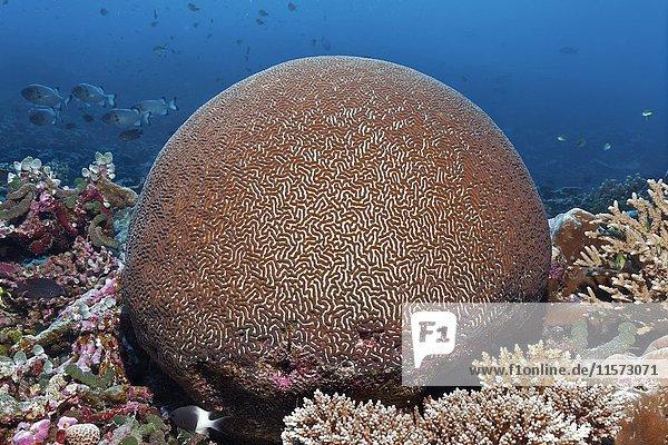 Steinkoralle (Platygyra pini ) Indischer Ozean  Malediven  Asien