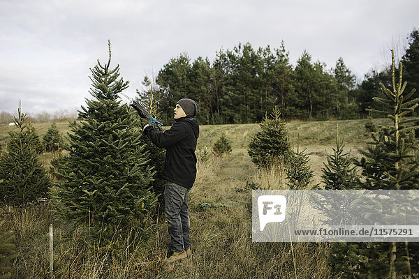 Man choosing tree in Christmas tree farm  Cobourg  Ontario  Canada