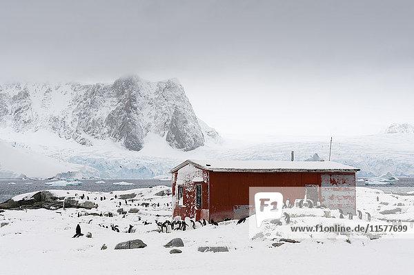 Eine Pinguinkolonie (Pygoscelis papua) in der Nähe der argentinischen Hütte Groussac  Insel Petermann  Antarktis.