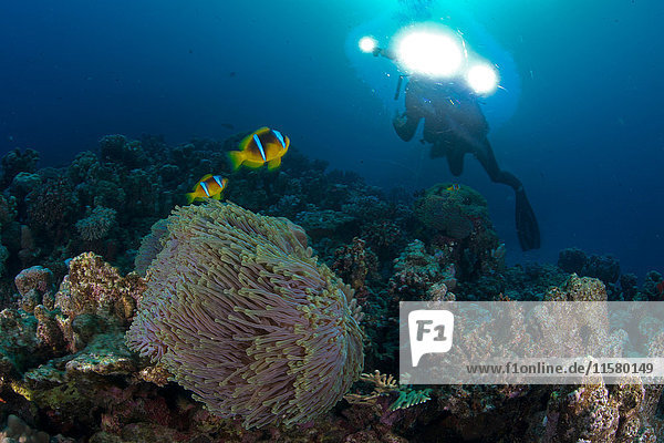 Scuba diver by Clownfish (amphiprion bicinctus)  Marsa Alam  Egypt