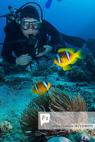 Scuba diver looking at Clownfish (amphiprion bicinctus)  Marsa Alam  Egypt