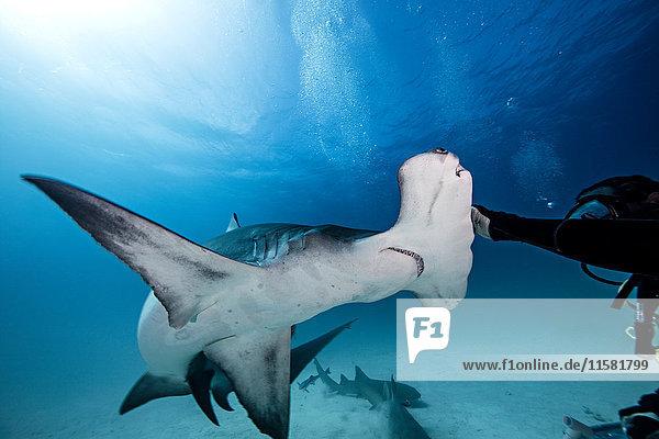 Unterwasser-Nahaufnahme eines männlichen Tauchers  der einen Hammerhai berührt
