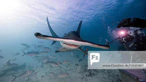 Unterwasseransicht männlicher Unterwasserfotograf  Aufnahme eines Hammerhais